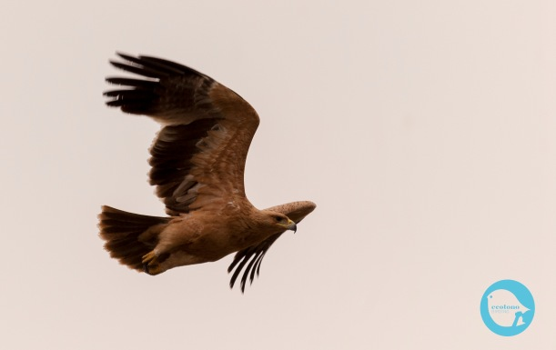 Spanish Imperial Eagle (juv)