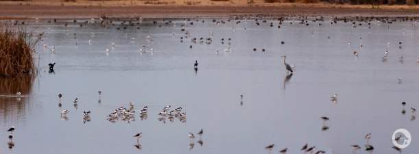 Acuatics birds in Doñana