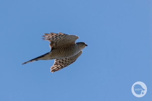 Migrating Sparrohawk