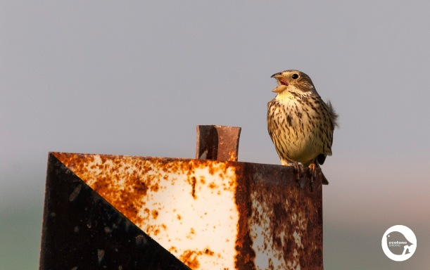 Corn Bunting calling for a pair