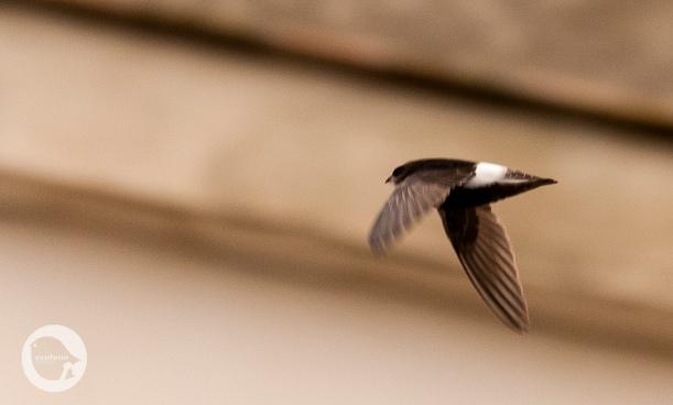 Little Swift in Cádiz