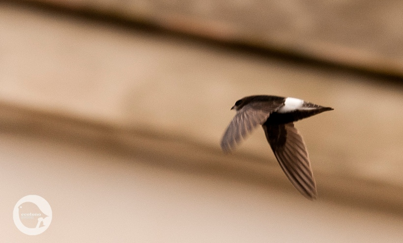 Little Swift in Cádiz
