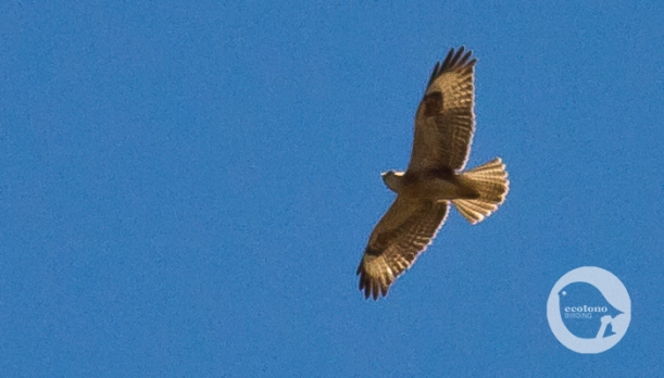 Long-legged Buzzard juvenil