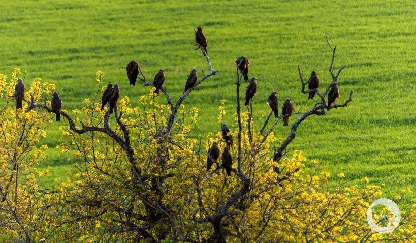 Black Kites