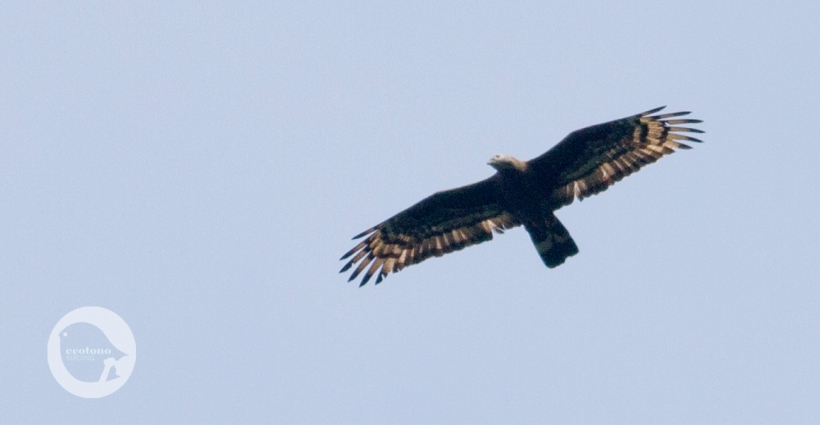 Adult Male Crested Honey Buzzard