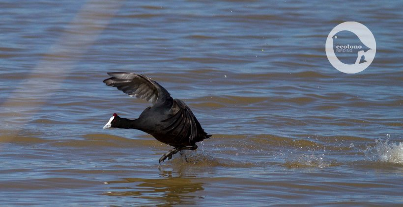 Red-knobbed Coot chasing its neighbours.