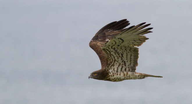 Short-toed Eagle arriving Eurpoe.