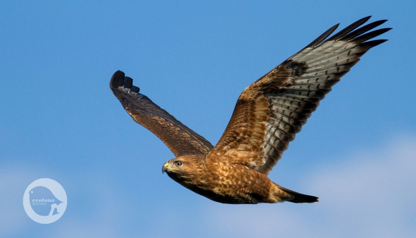 Steppe Buzzard in migration