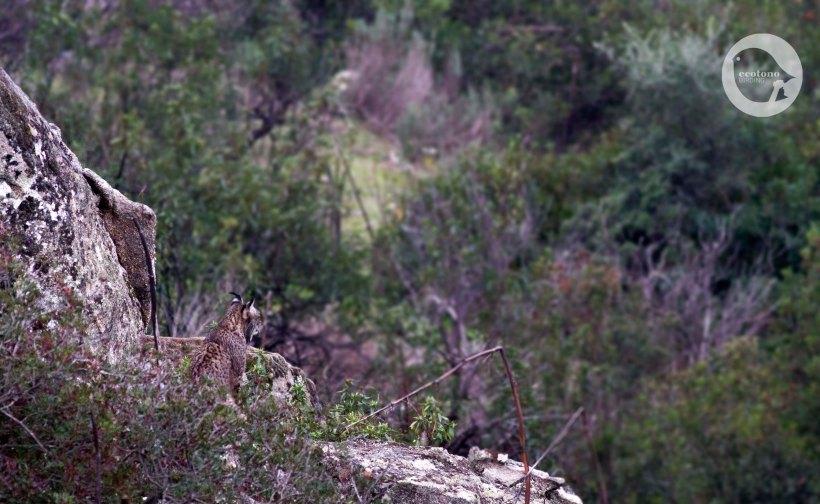 Iberian Lynx2