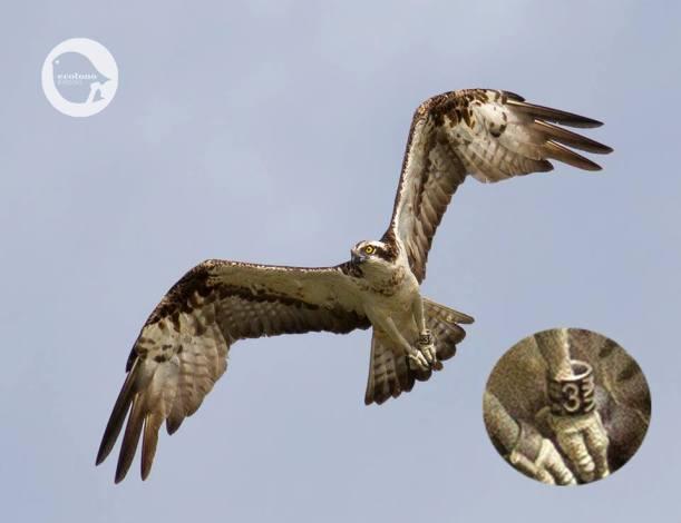 Osprey ringed